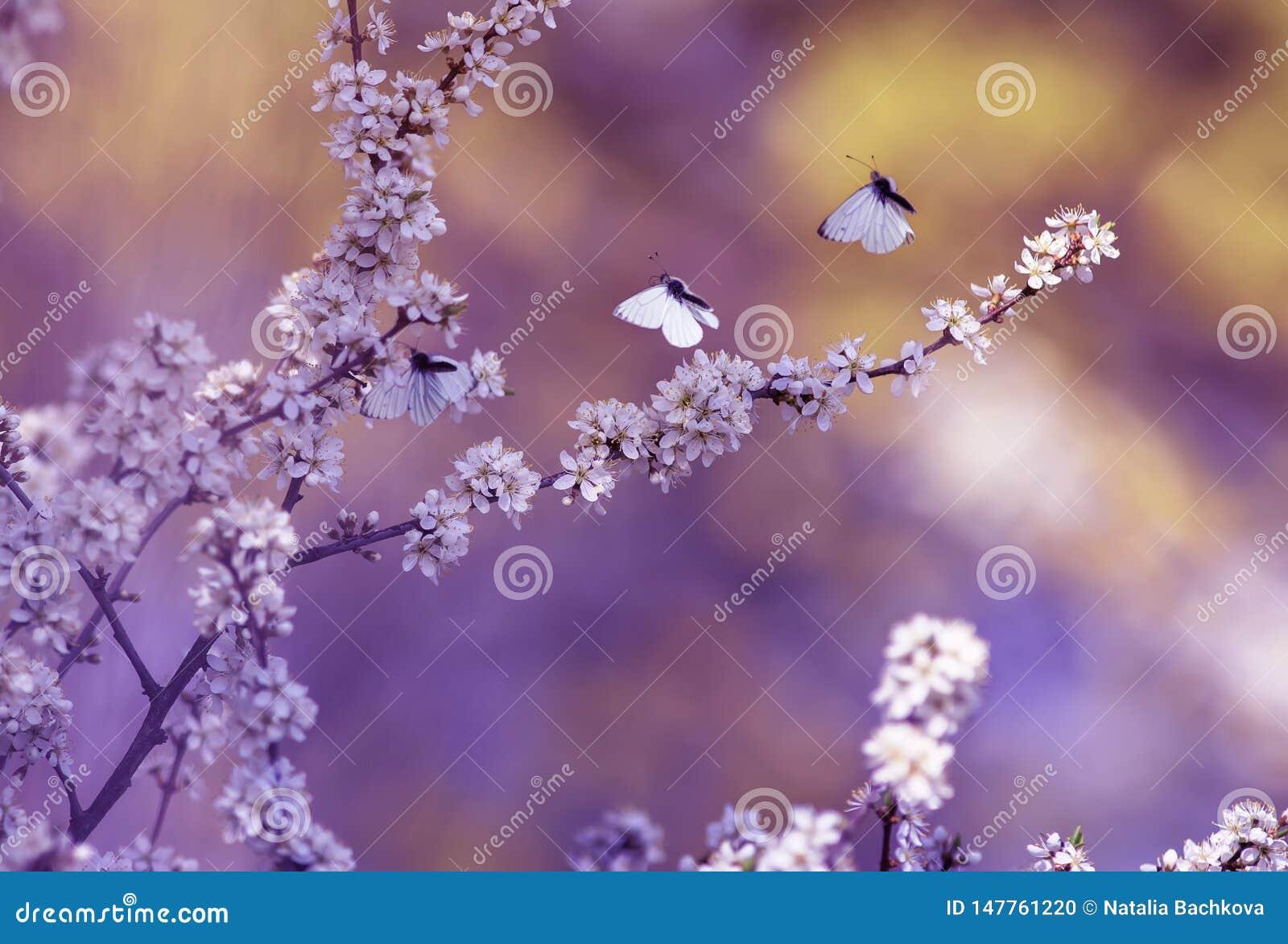 Drie witte mooie kleine vlinders vliegen aan de takken met het pluizige geurige bloemen en van struikknoppen warm tot bloei komen