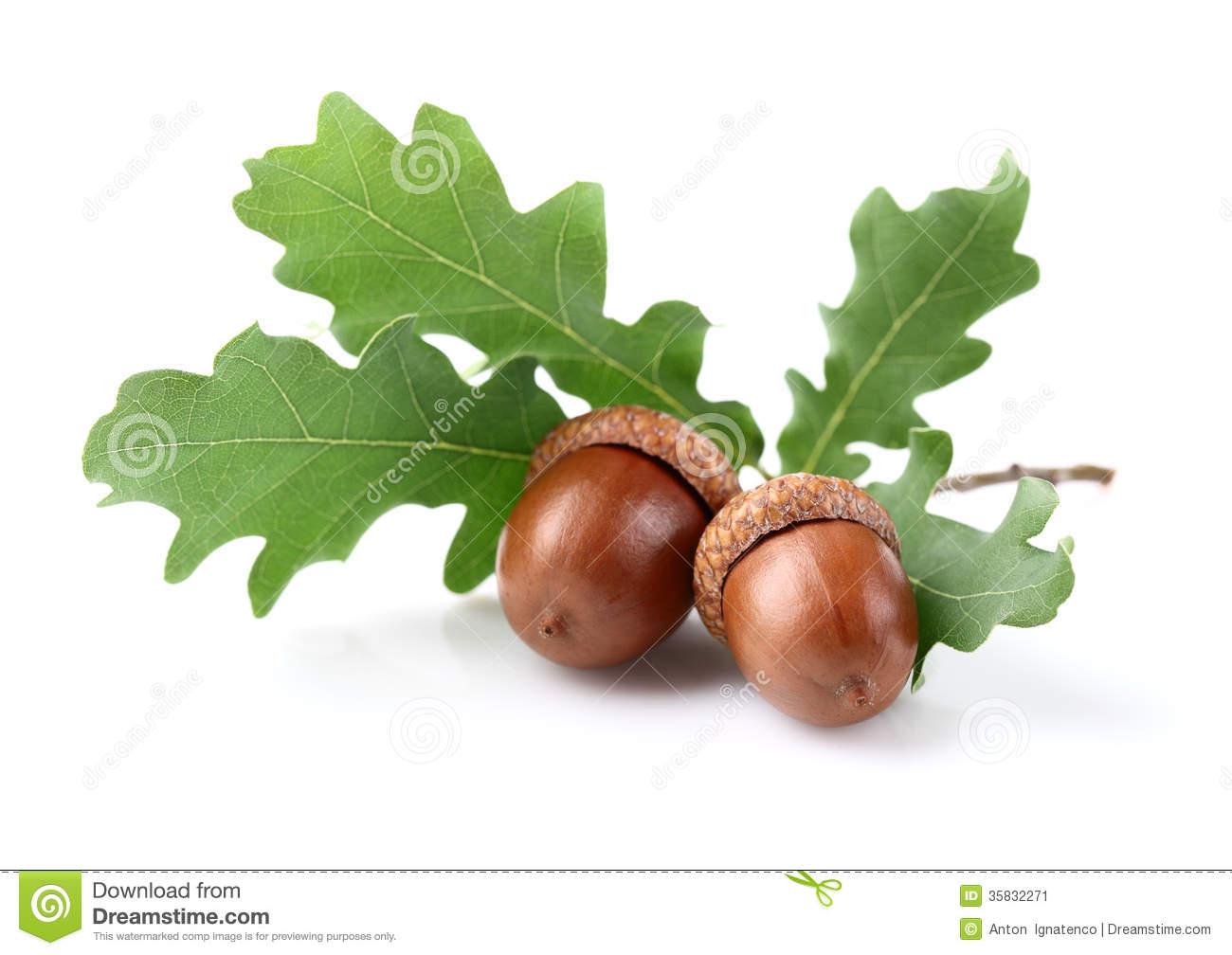 Dried Acorn With Leaves Stock Image - Image: 35832271