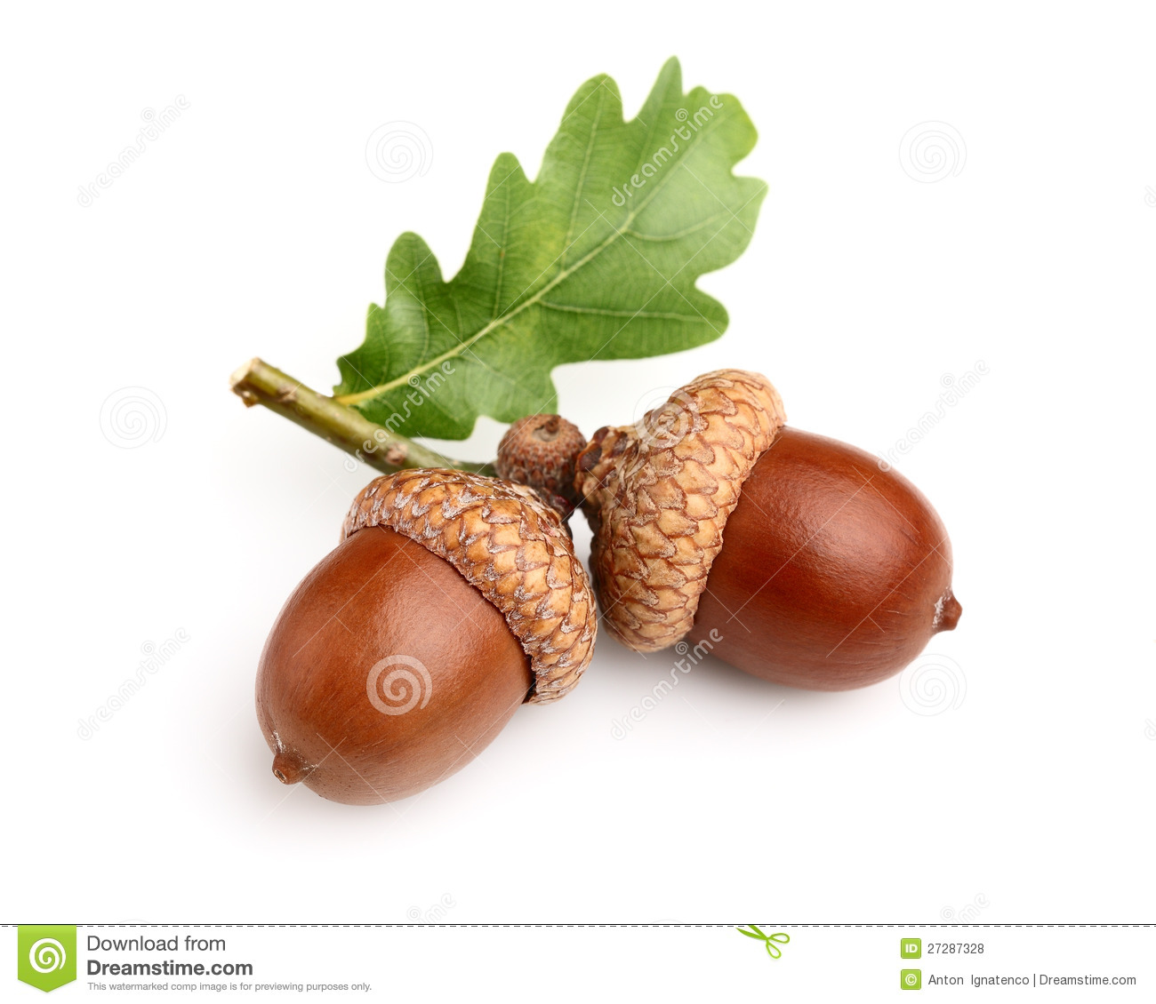 Dried Acorns With Leaf Stock Photo Image Of Fruit