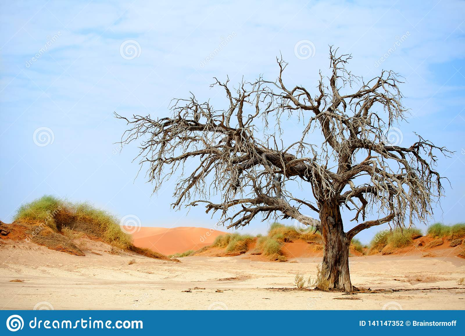 Dried camel acacia tree on orange sand dunes and bright blue sky background, Namibia, Southern Africa