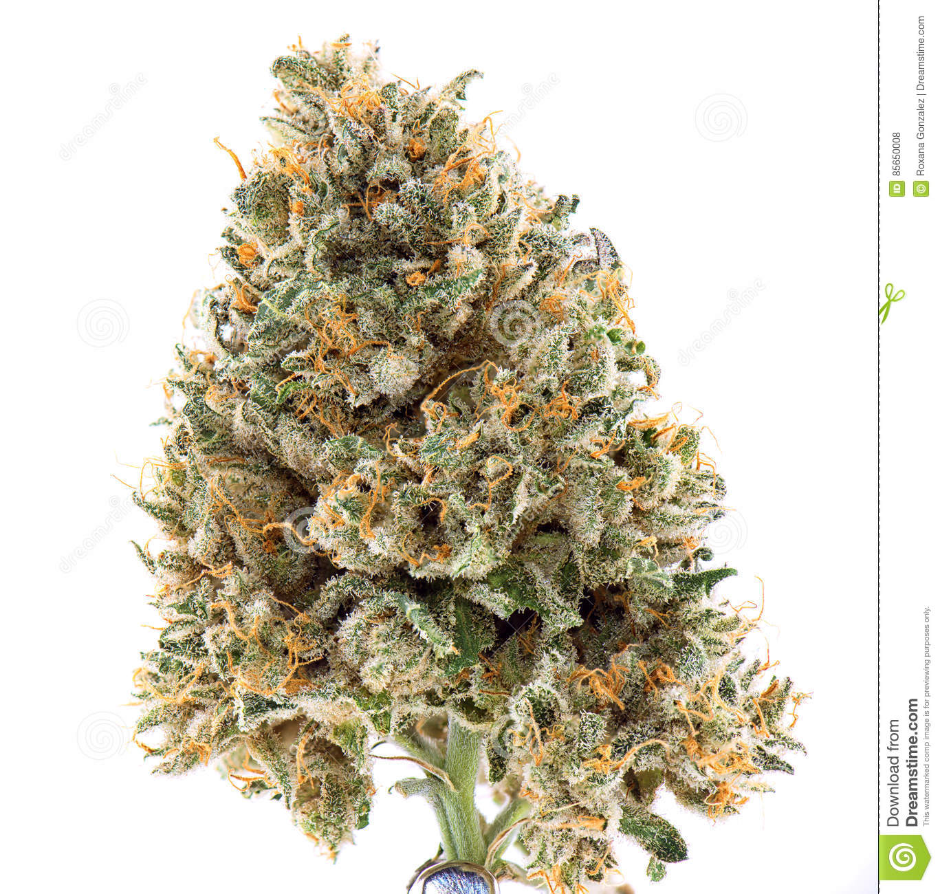 Dried cannabis flower mangolope strain isolated over white