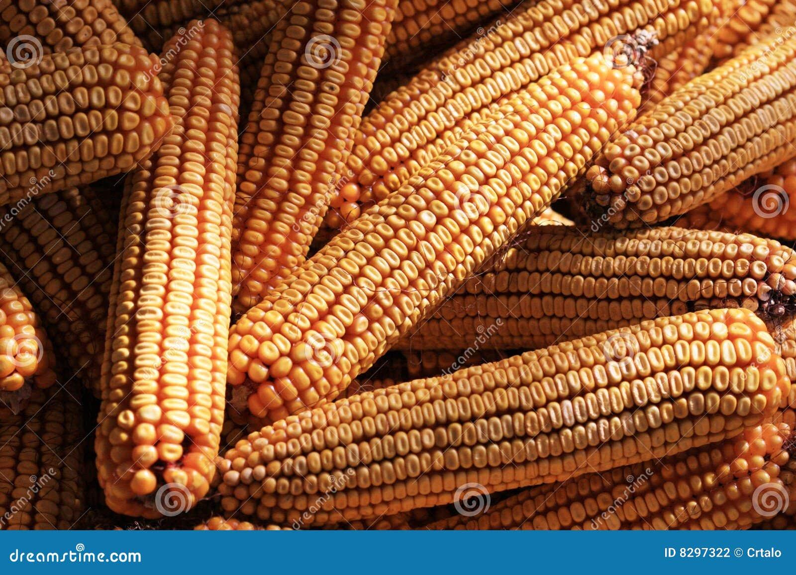 Dried indian corns sun background