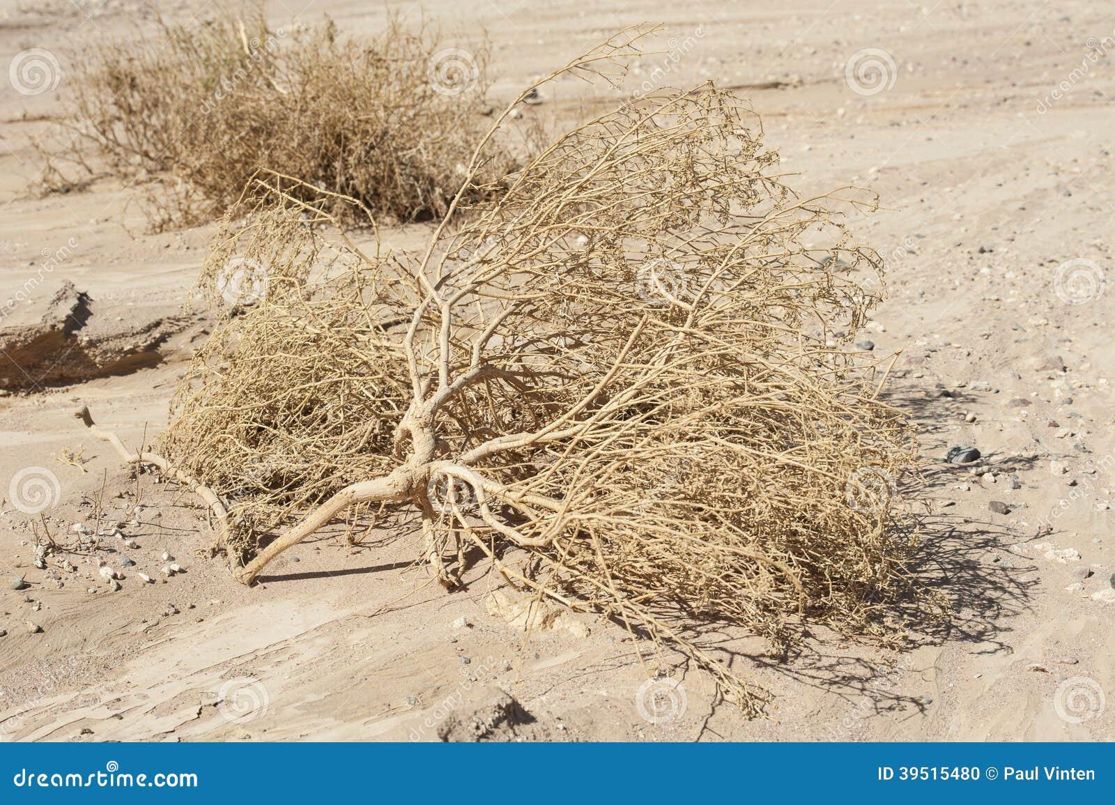 Dried dead plants in an arid desert