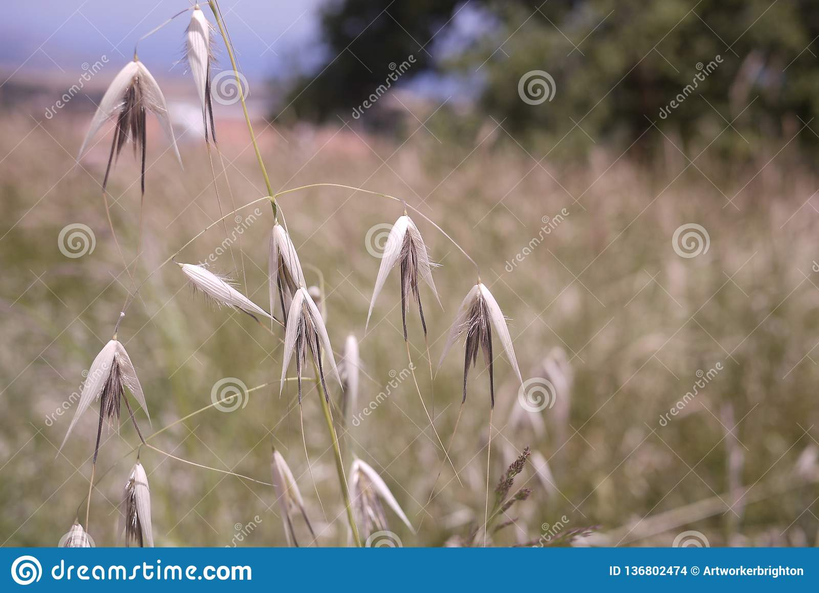 Dried grass seed heads split open in Cyprus field