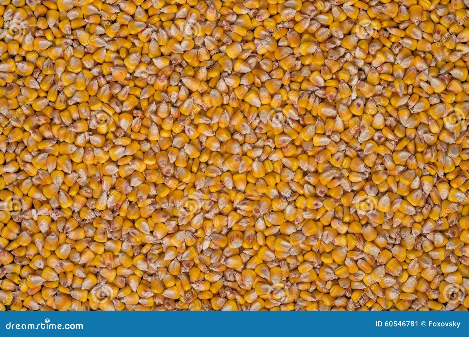 Dried indian corn stock photo image 60546781