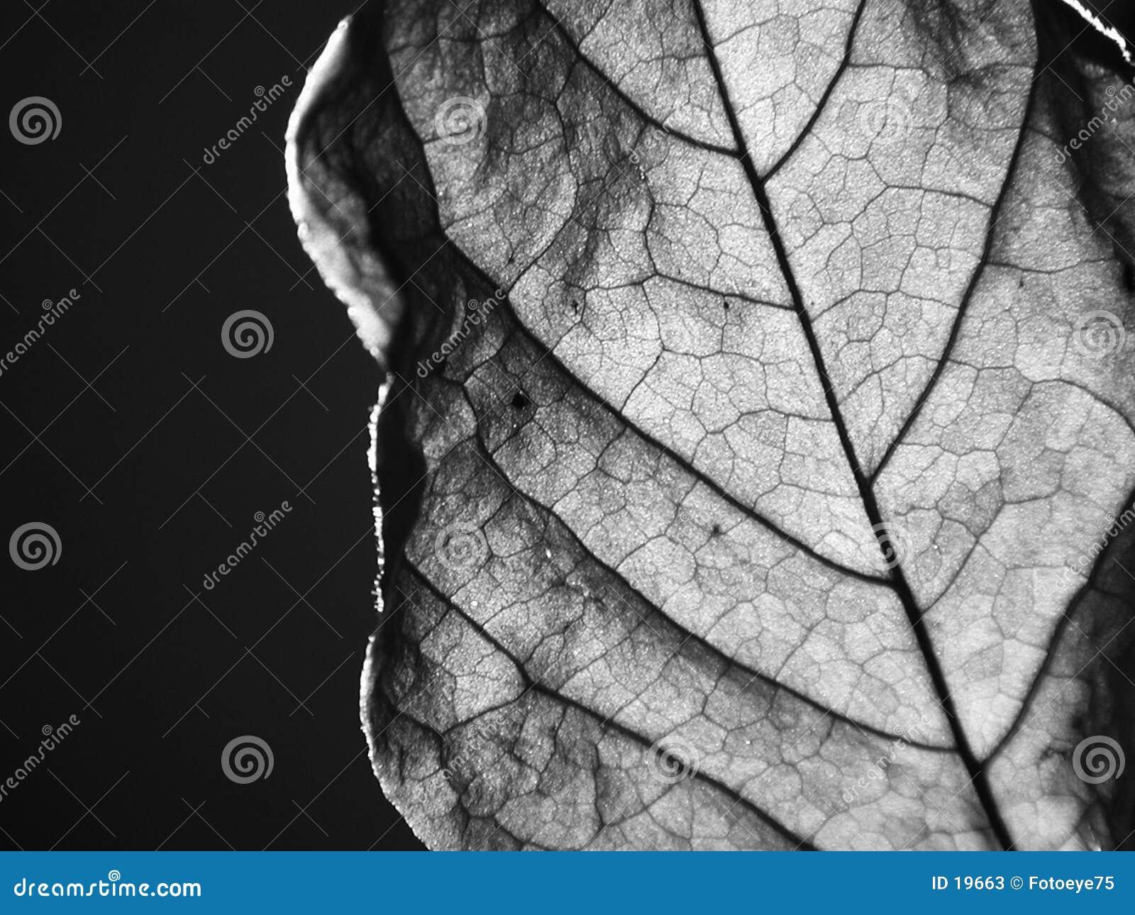 Dried leaf close-up