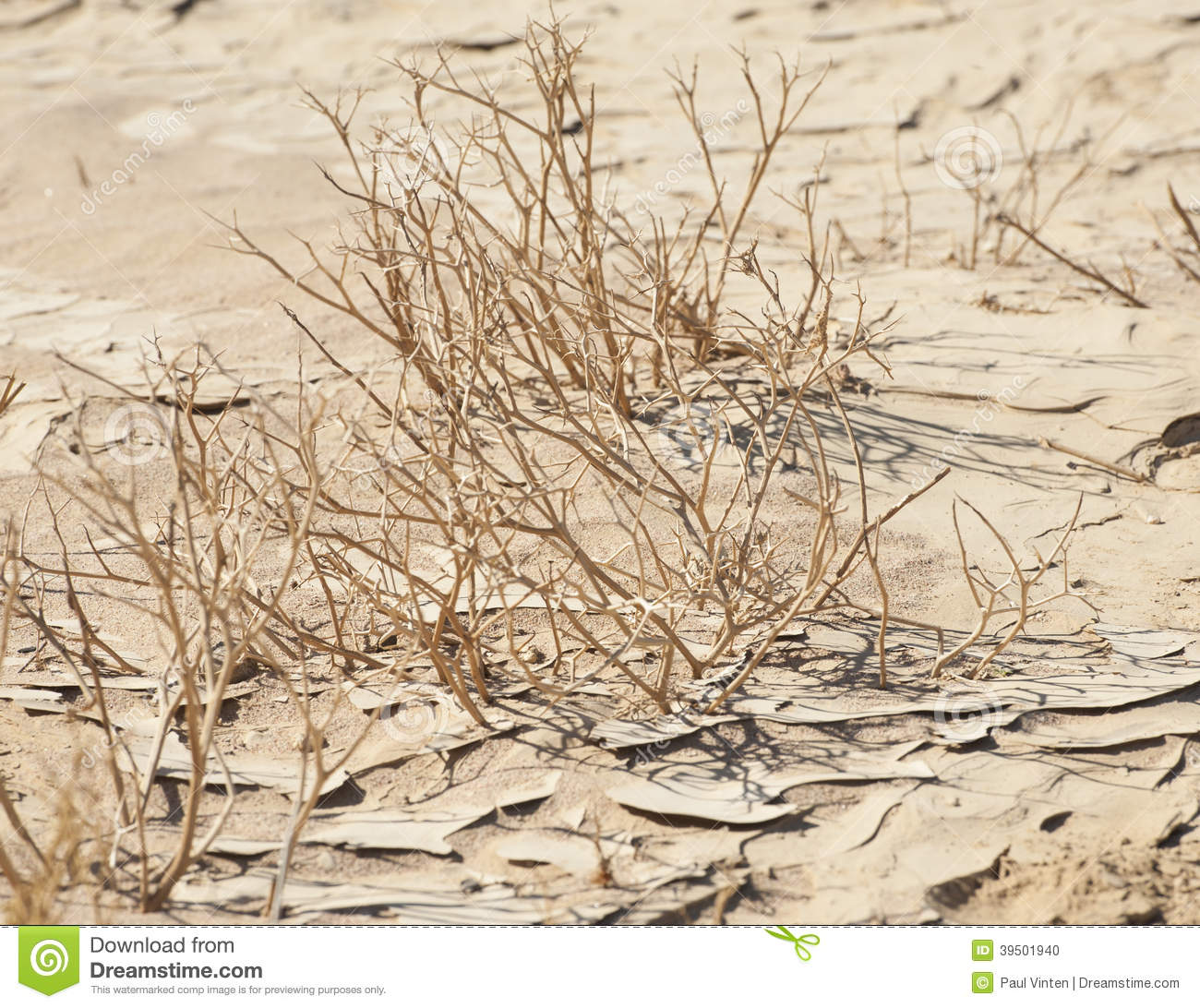 Dried plants in the desert