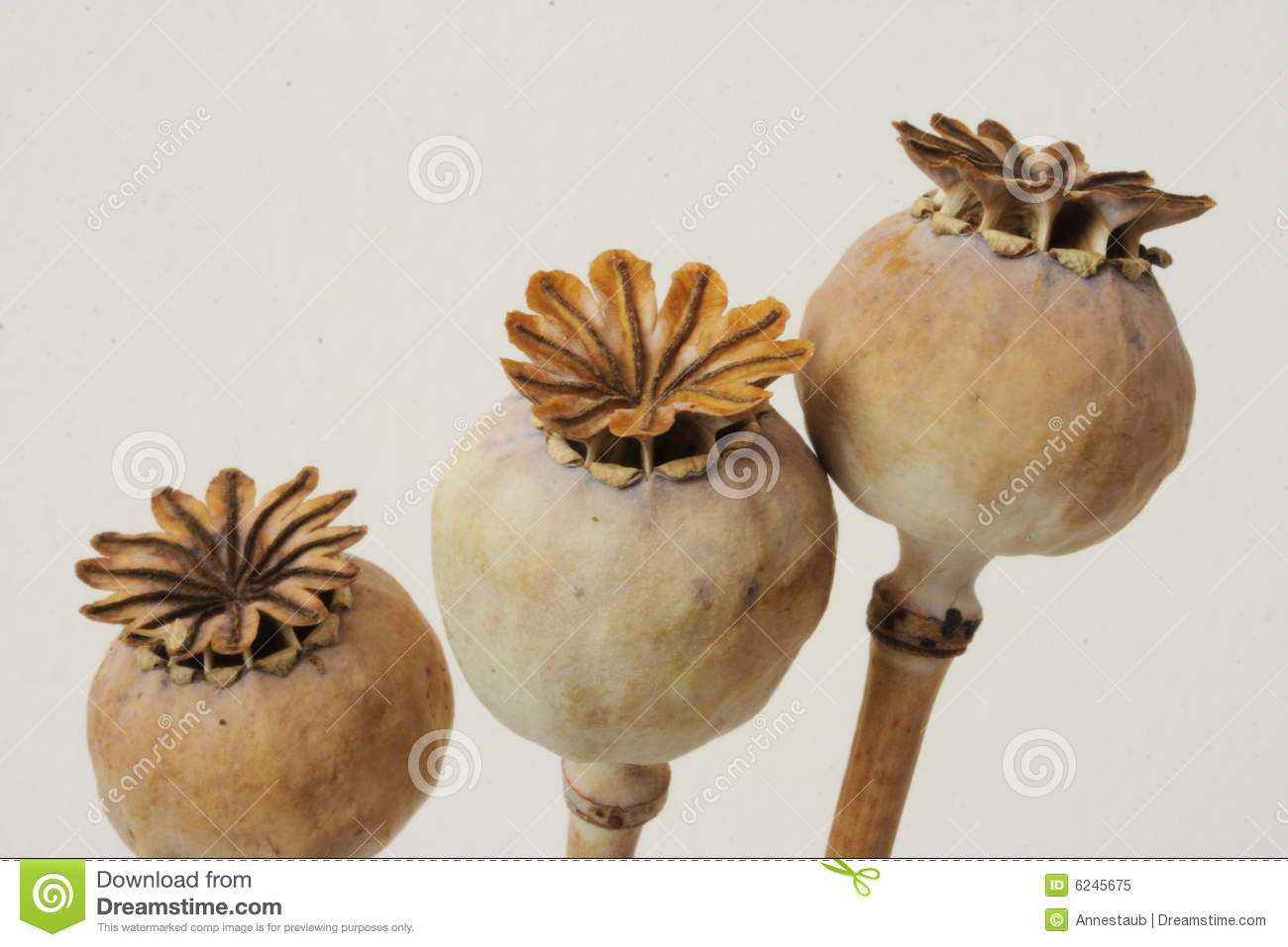 Dried Poppy Seeds Pods Stock Image Image Of Papaver Isolated 6245675