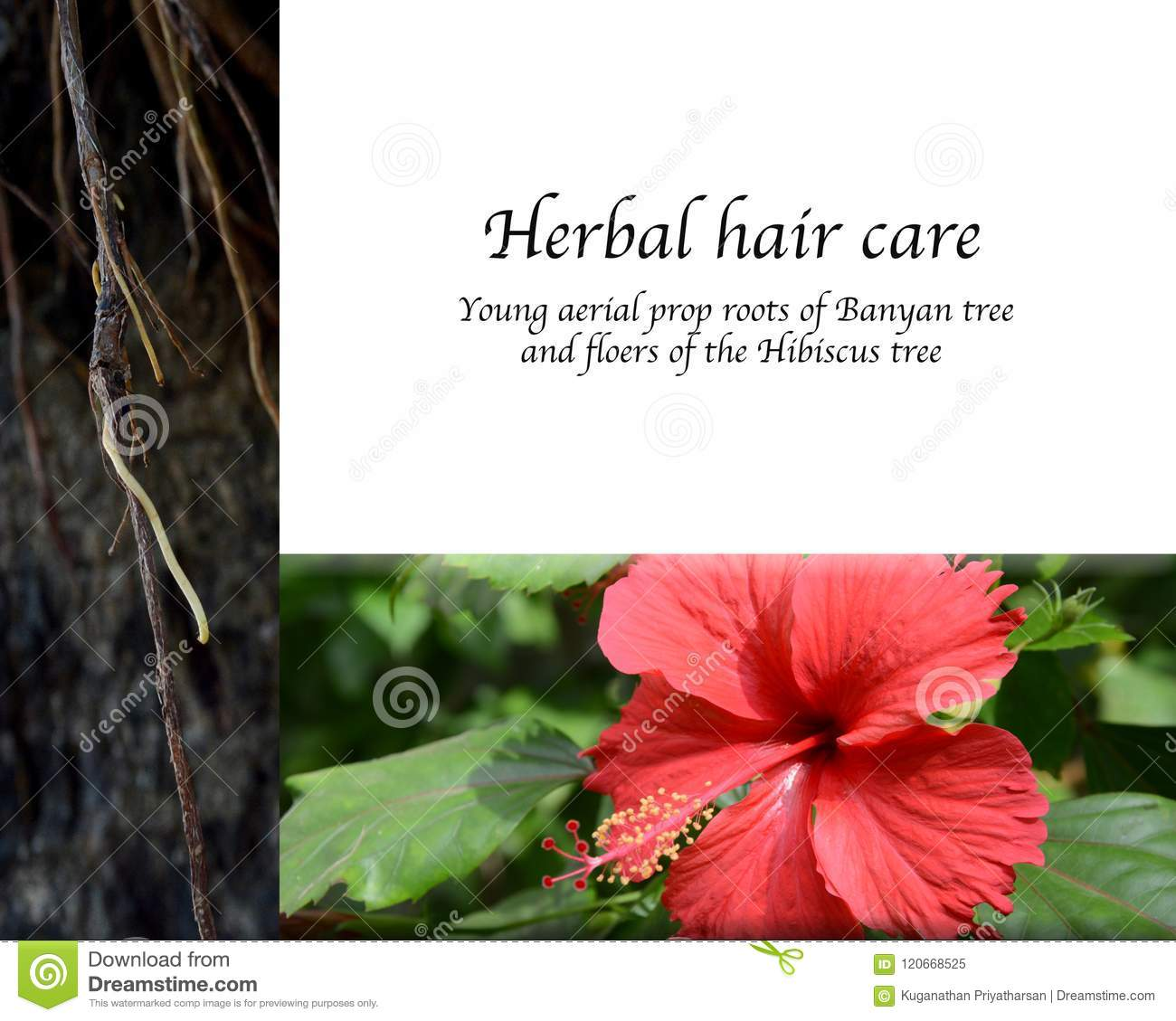Traditional Herbal Hair Care Stock Image Image Of Healthy Powder
