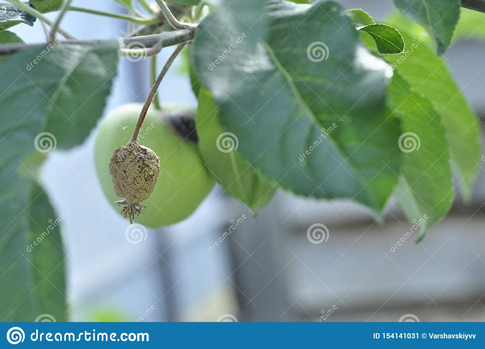 Dried unripe apples on a tree are wormy spoiled. Bad harvest