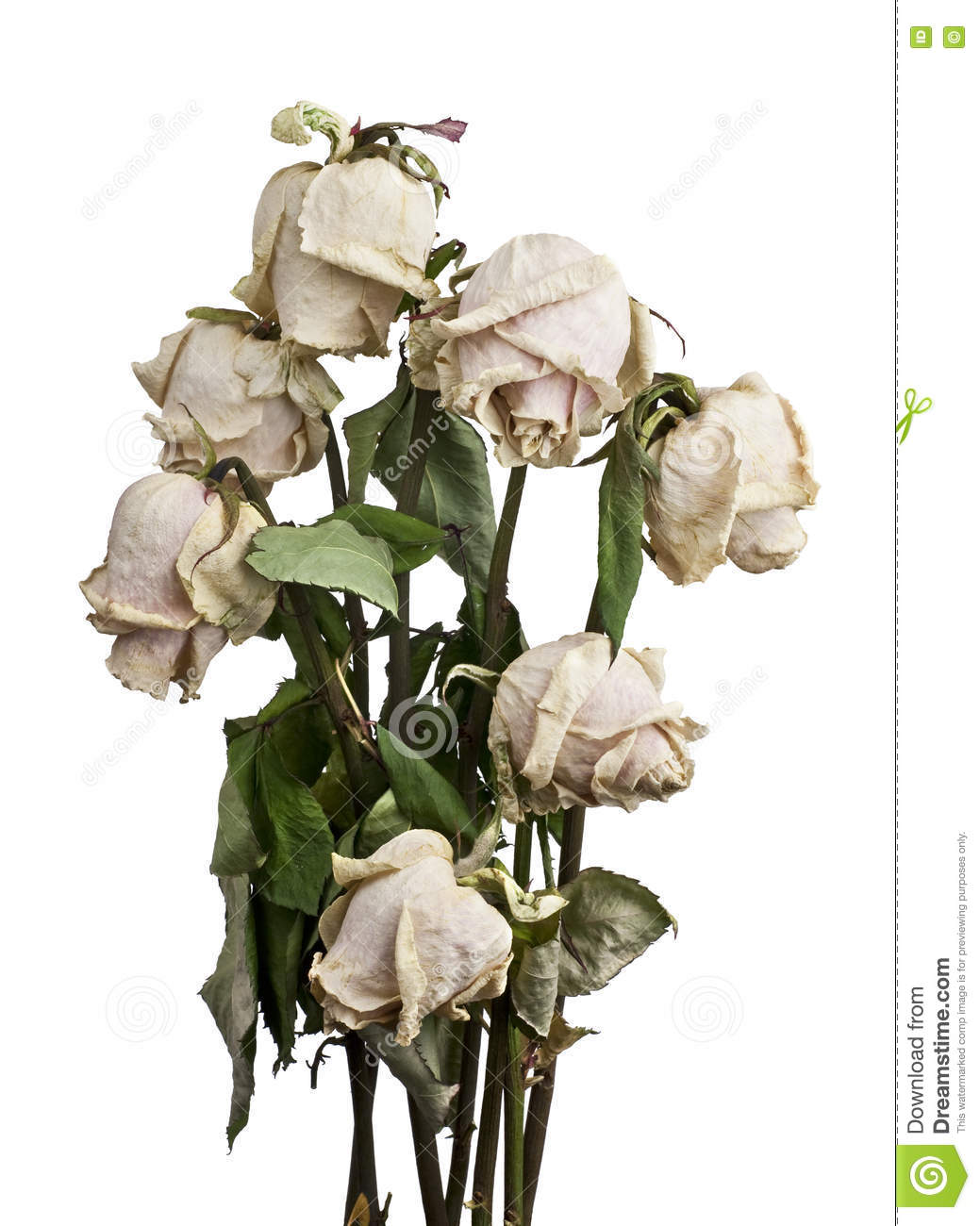 Dried White Roses Stock Image Image Of Blossom Deterioration