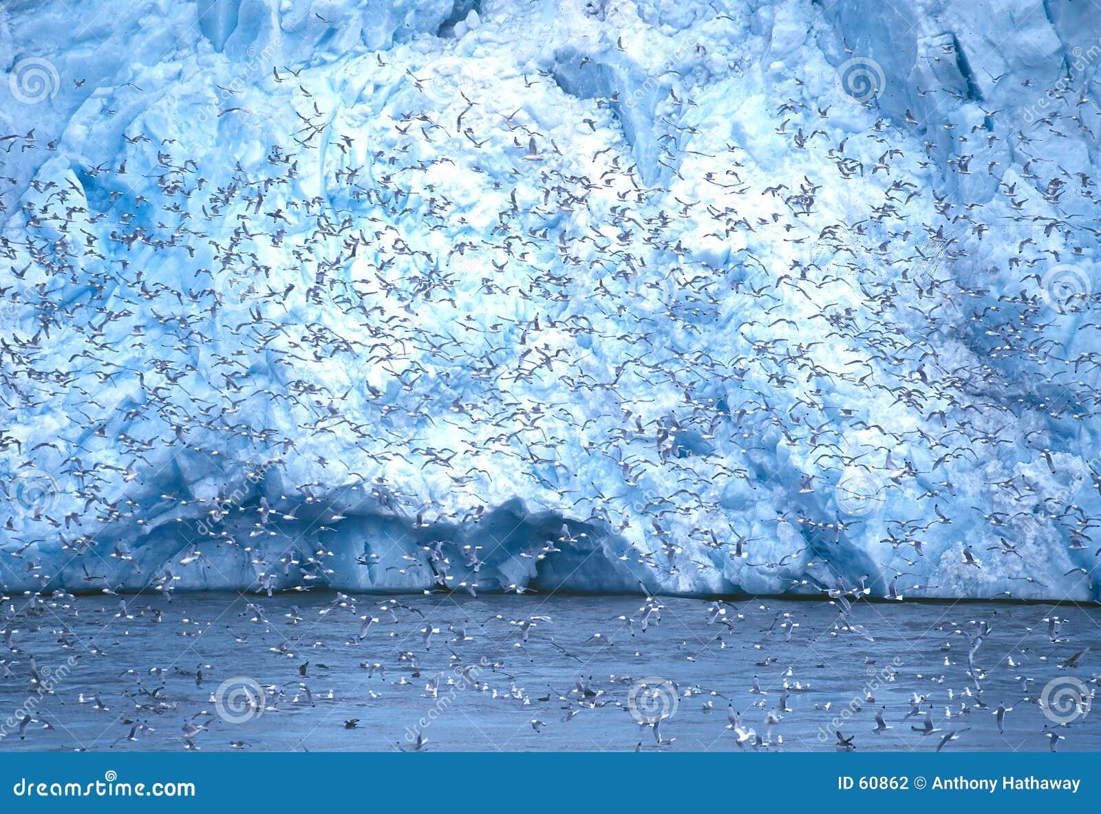 Drieteenmeeuwen bij de Gletsjer van Monaco, Svalbard