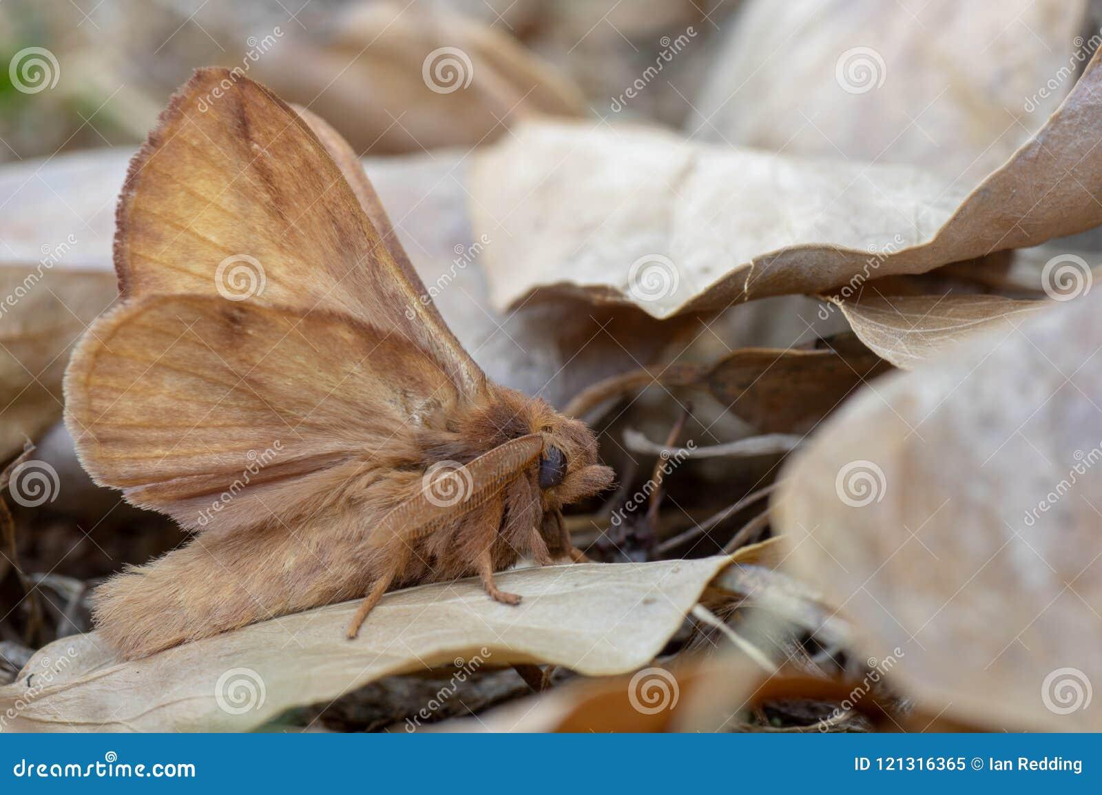 The drinker moth Euthrix potatoria amongst dead leaves