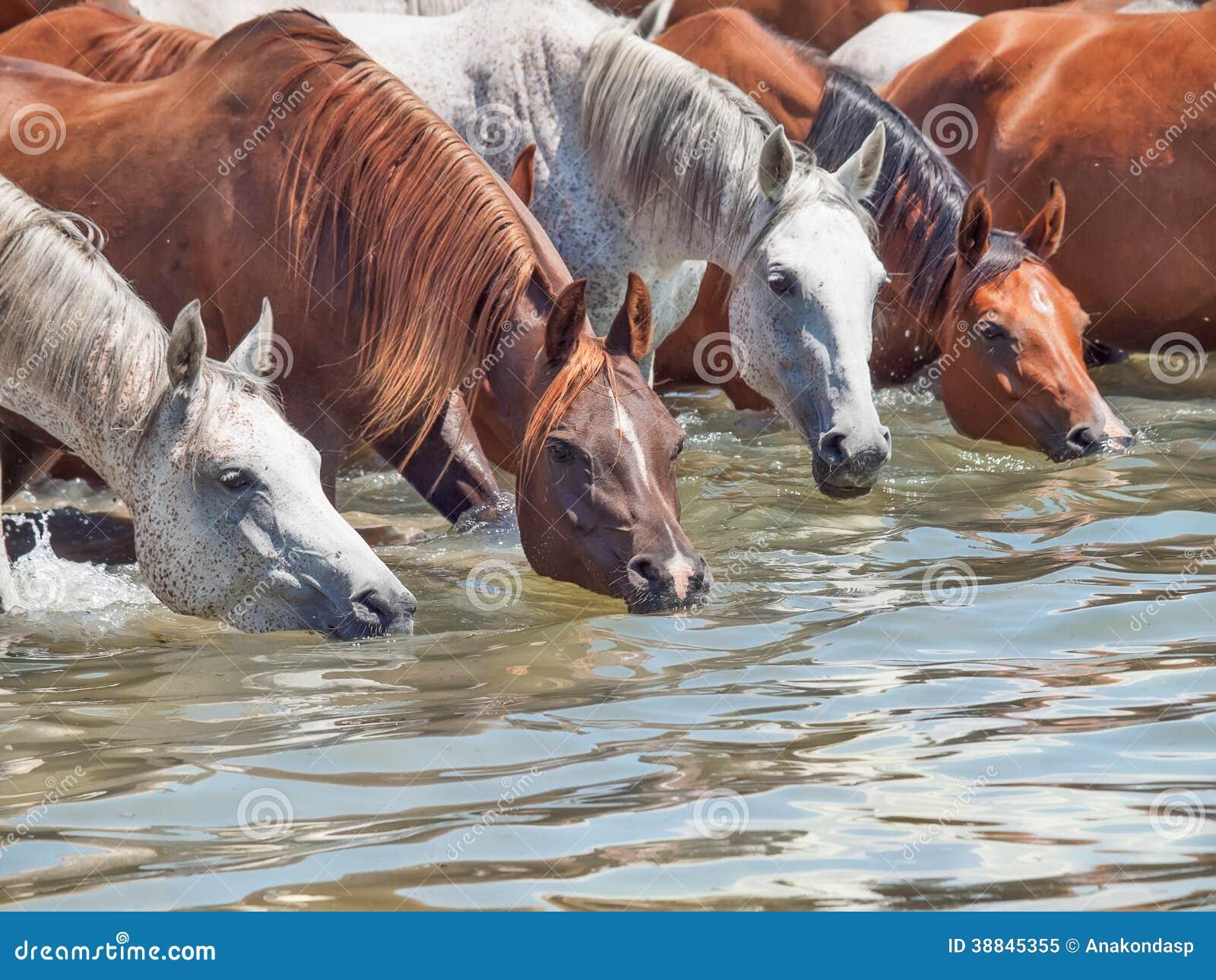 Drinking Arabian Horse In The Lake Stock Photo Image