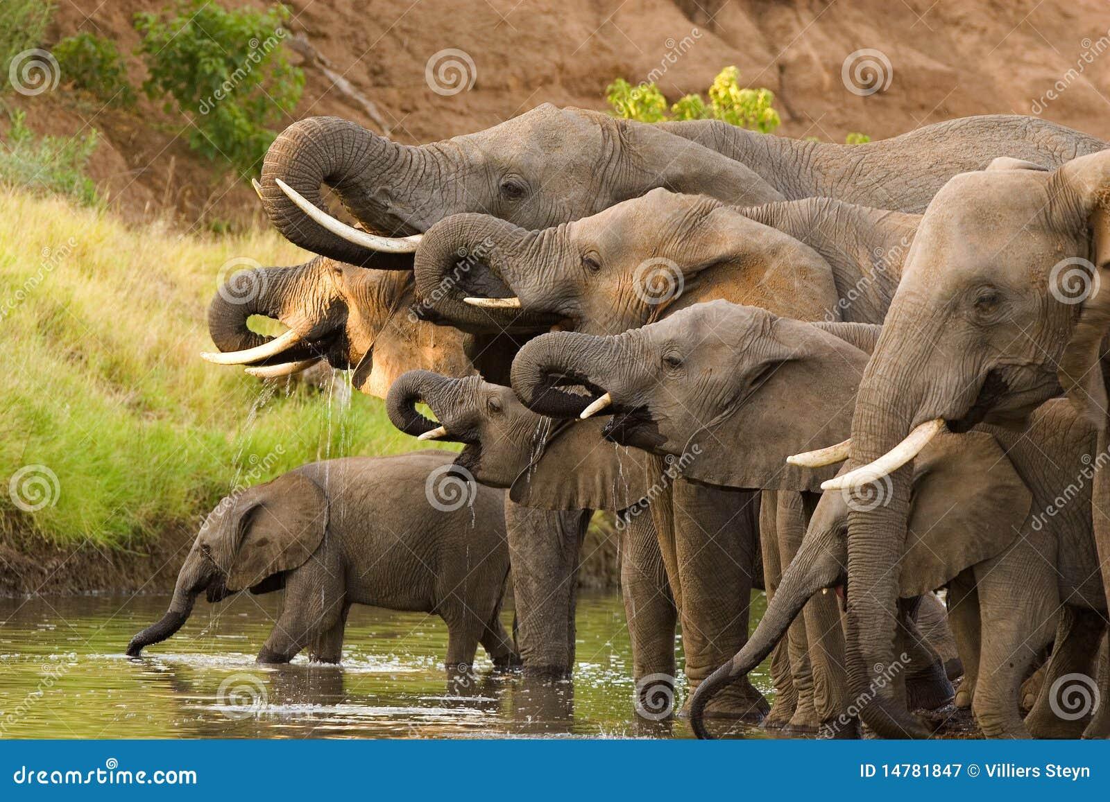 Drinking Elephant Herd Royalty Free Stock Photography