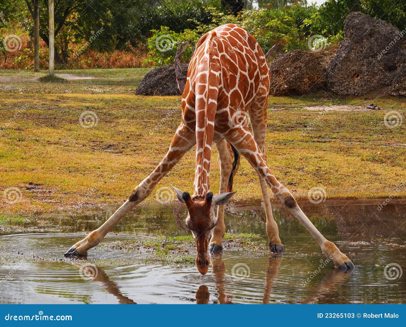 Drinking Giraffe Stock Photos - Image: 23265103