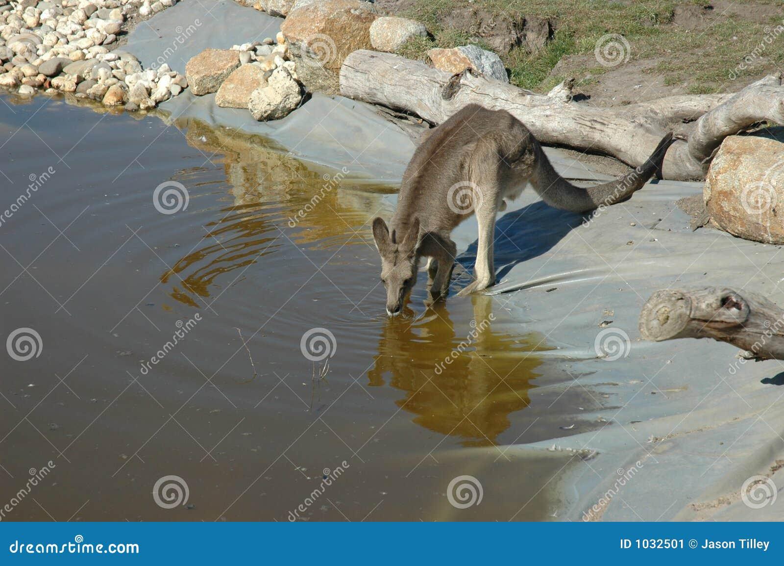 Drinking Kangaroo