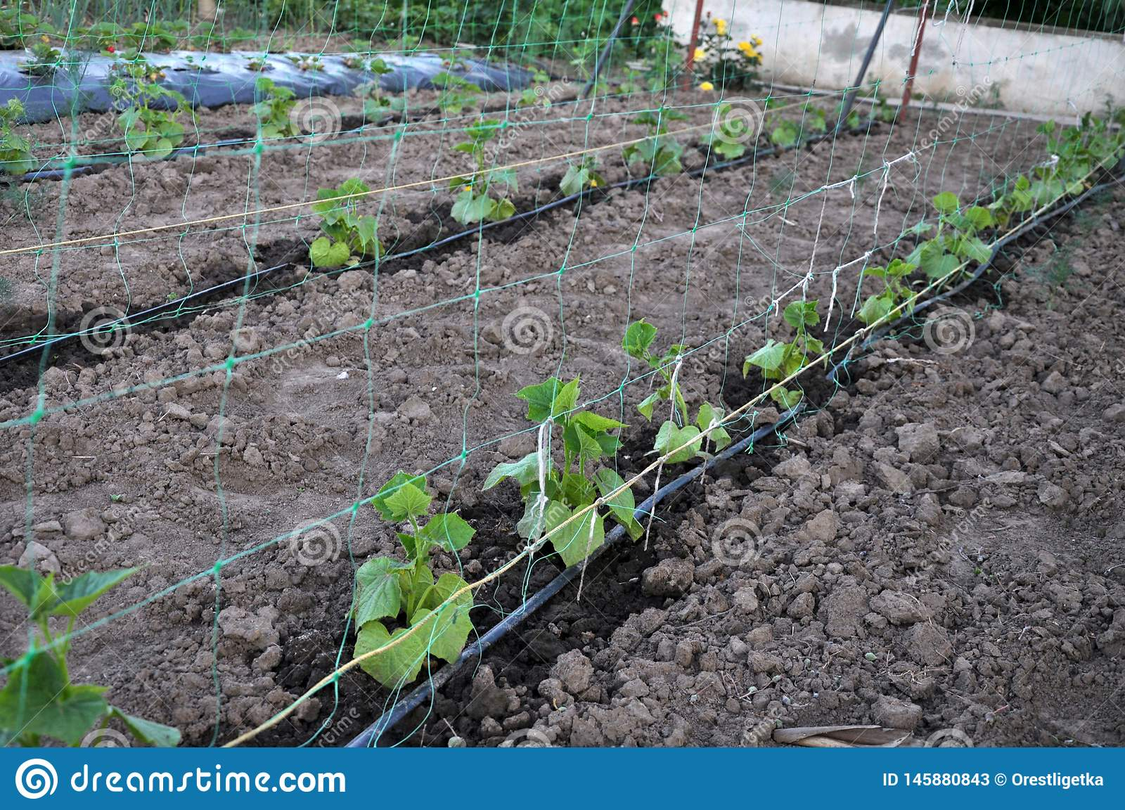 drip irrigation system when growing vegetables in the open