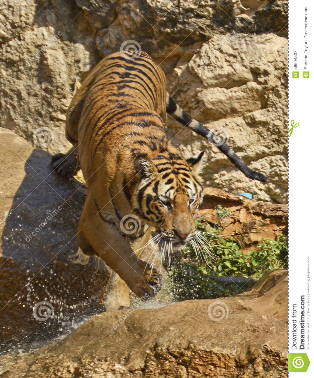 Dripping Bengal Tiger Splashing Down The Rocks Stock Photo ...
