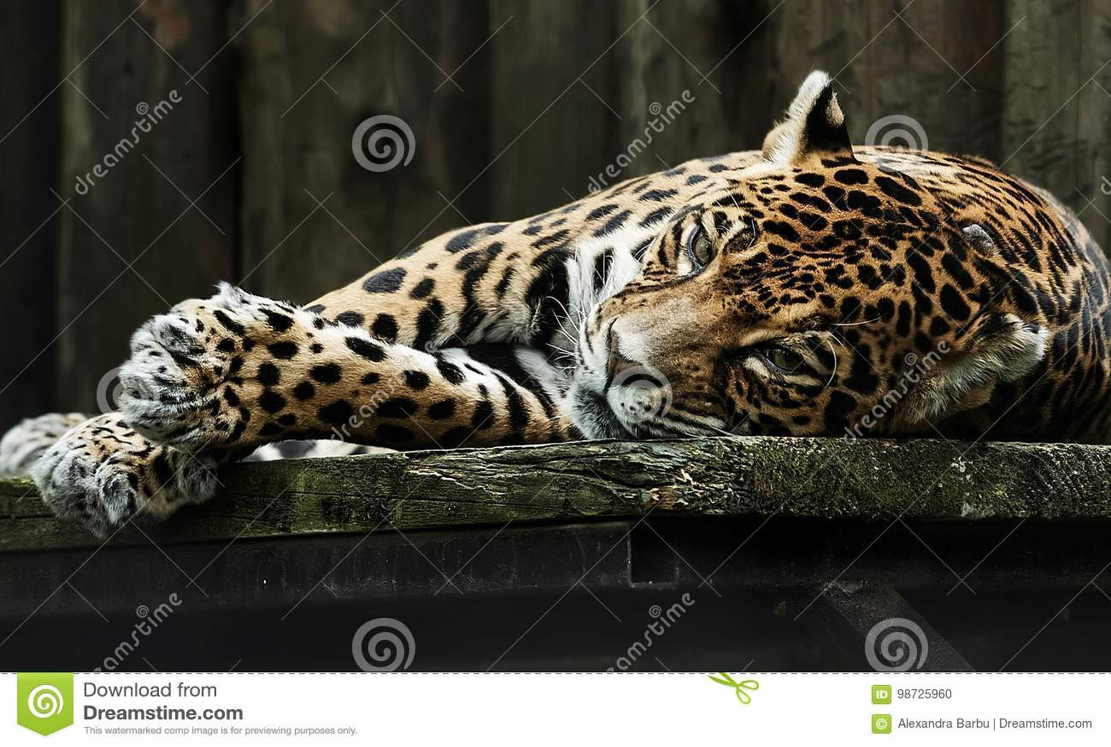 Droevige Luipaard in gevangenschap
