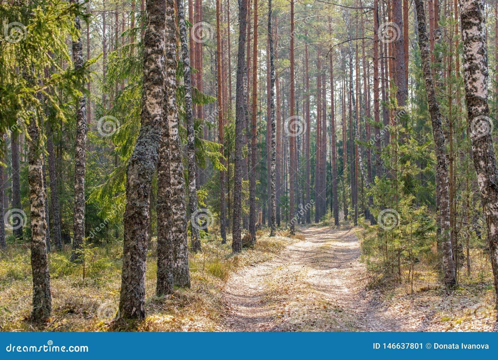 Droga gruntowa w mieszanym lesie w wczesnej wiośnie
