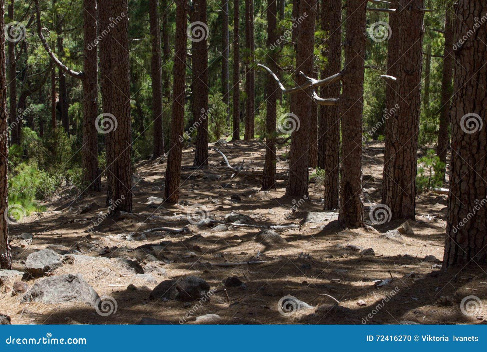 Droga gruntowa w sosnowym lesie, Tenerife, Pinolere, wyspa kanaryjska Pinus Canariensis