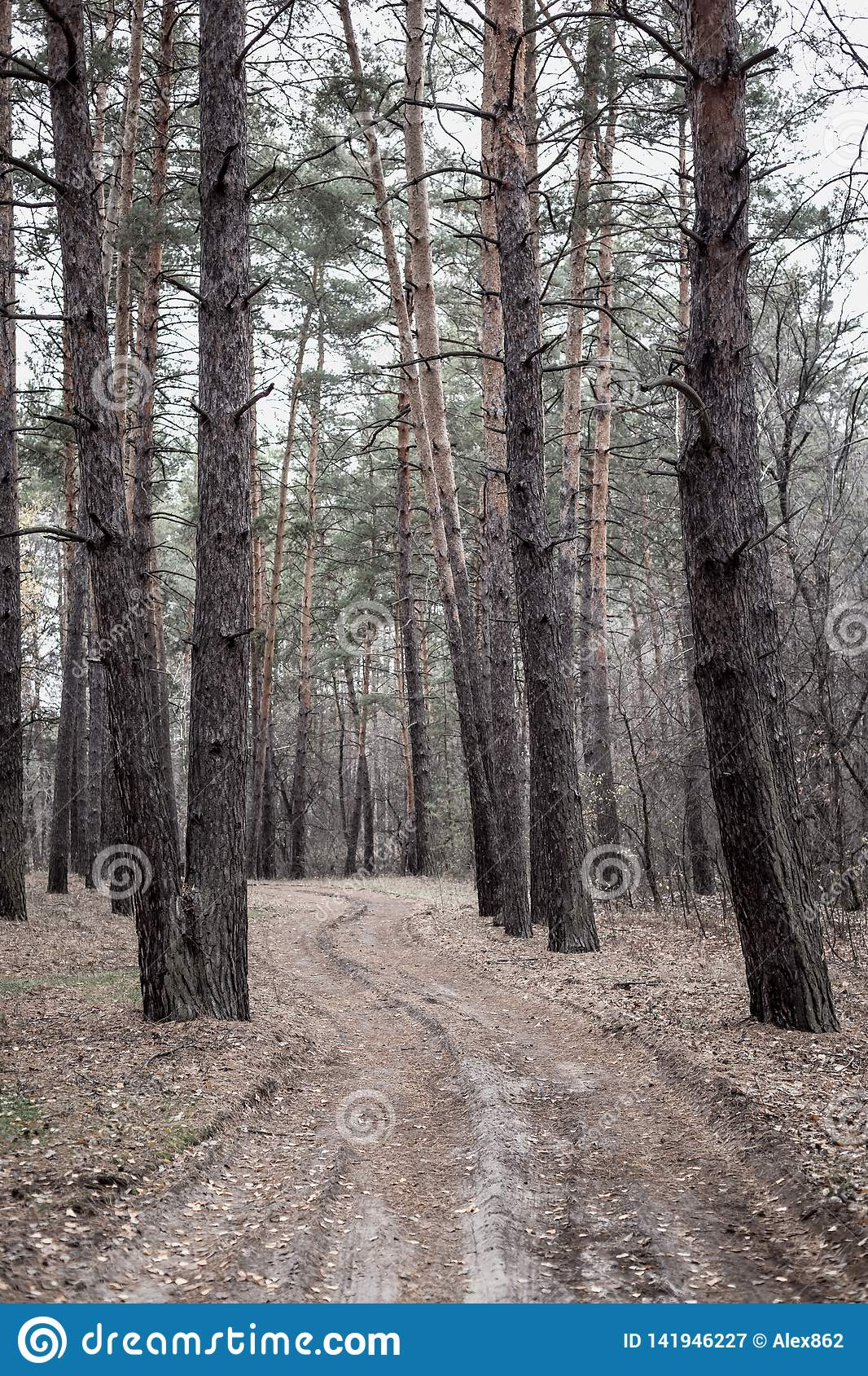 Droga w sosnowym lesie w jesieni