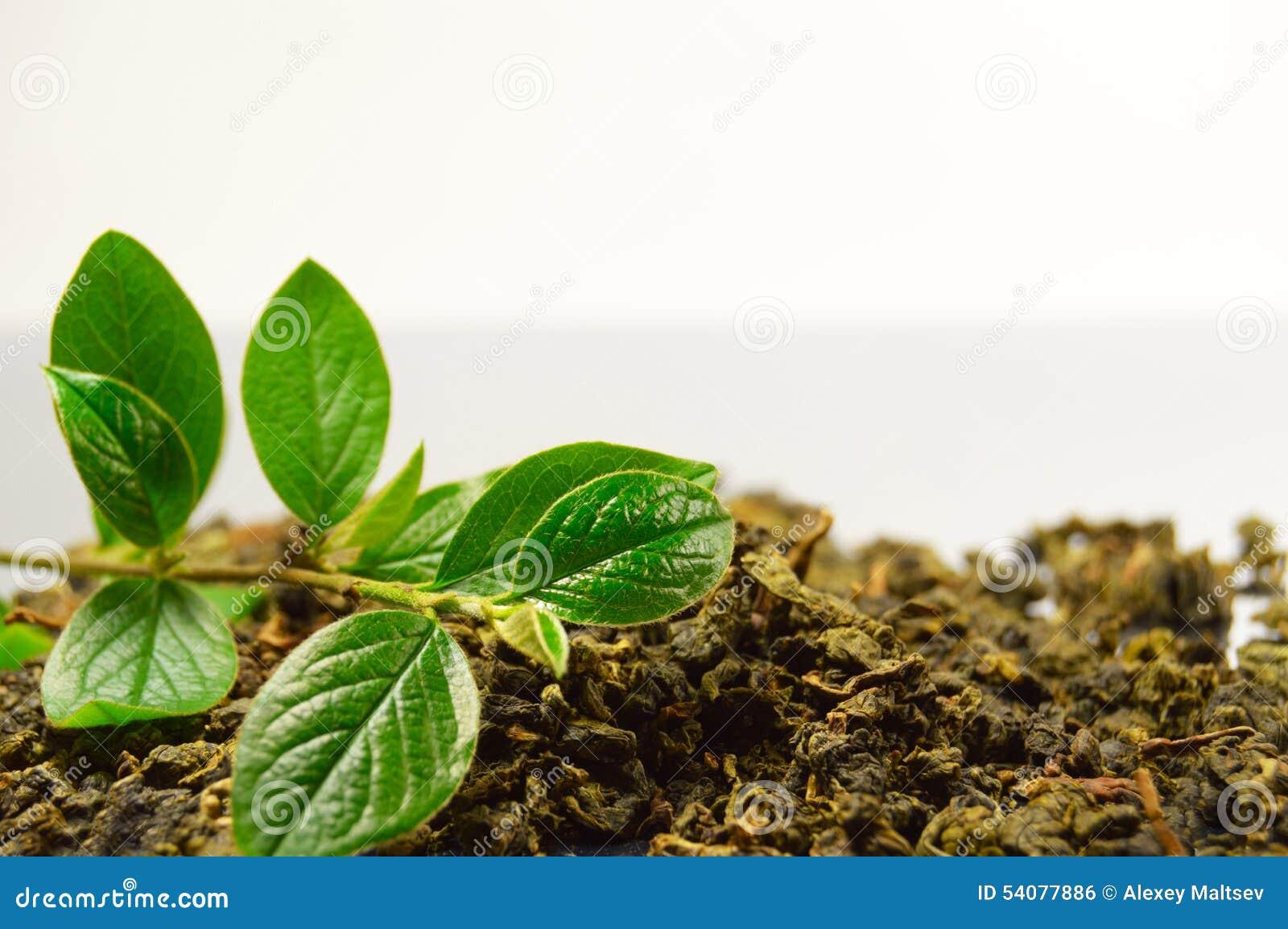 Droge bladeren van theeboom en groene tak