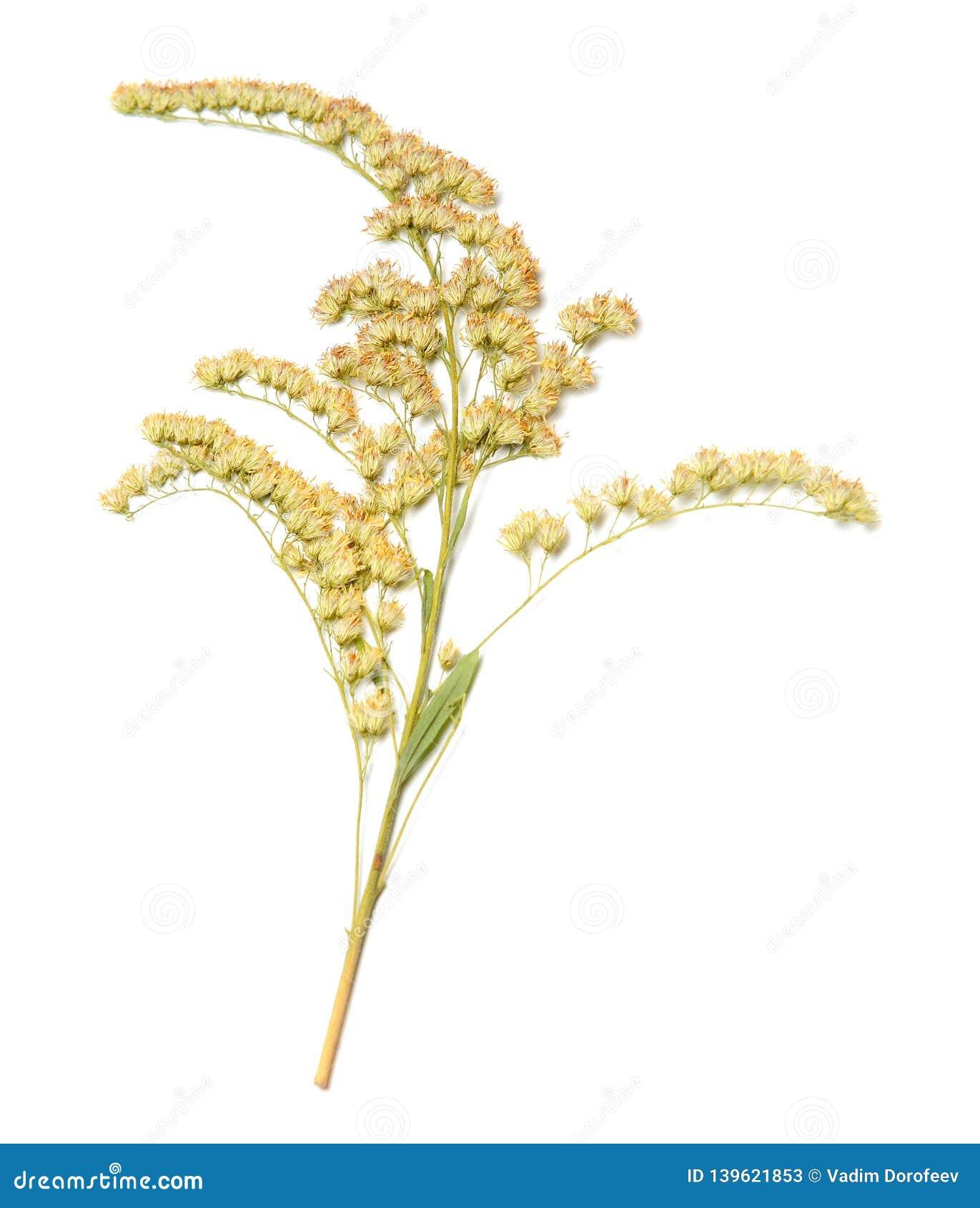 Droge bloem op wit geïsoleerde achtergrond Close-up