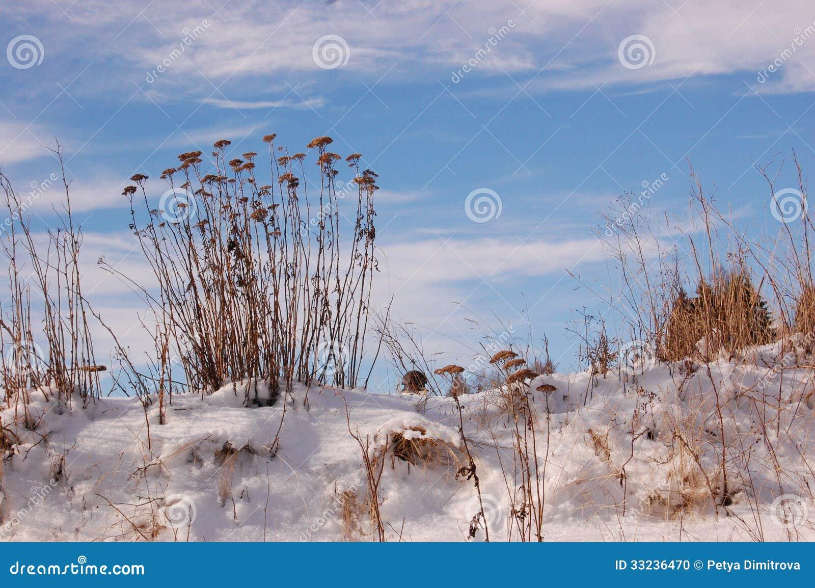 Droge bloemen in de sneeuw stock foto afbeelding bestaande uit sneeuw 33236470 - Foto droge tuin ...