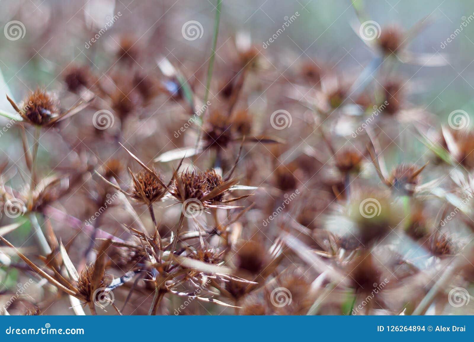 Droge bloesems van een blauw-hoofd op het gebied De intense oranje kleur van de bloeiwijze wijst op de rijpheid van de zaden slui