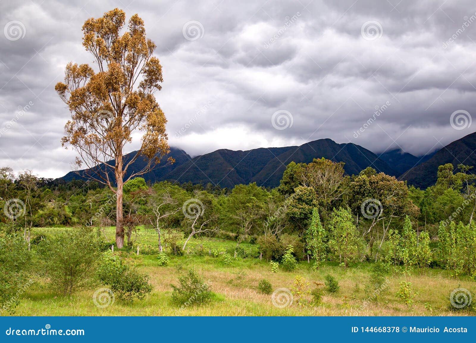 Droge eucalyptusboom in een bos