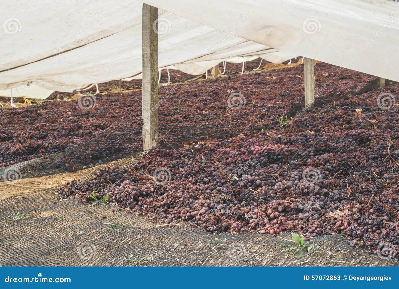Drogende druiven voor rozijnen