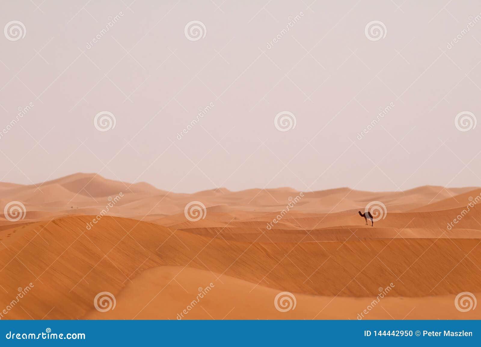 Dromedário só em Sahara Desert de Marrocos
