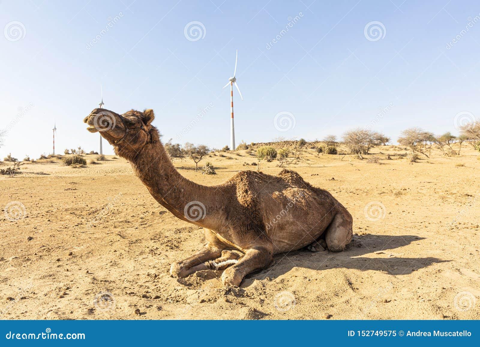 Dromedar in der Thar-Wüste, mit Windkraftanlagen