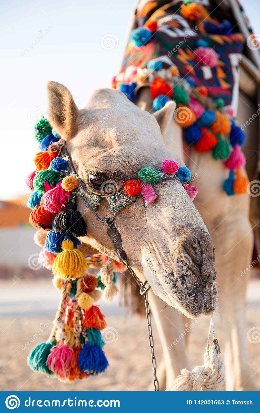 Dromedary waiting for guests