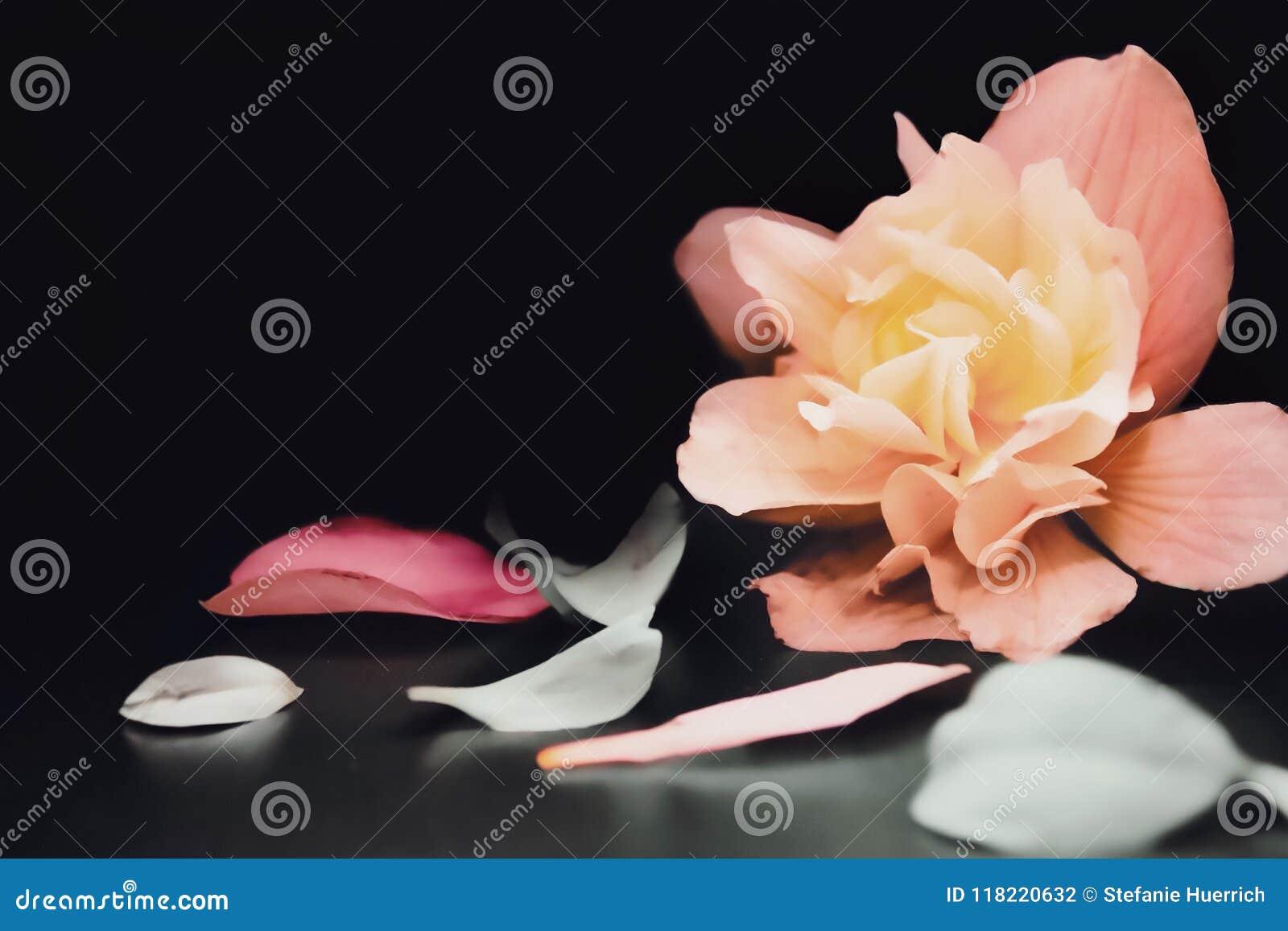 Dromerige roze bloem op zwarte achtergrond
