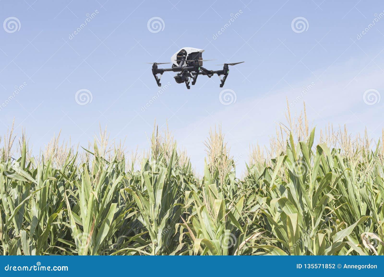 Drone on a corn field