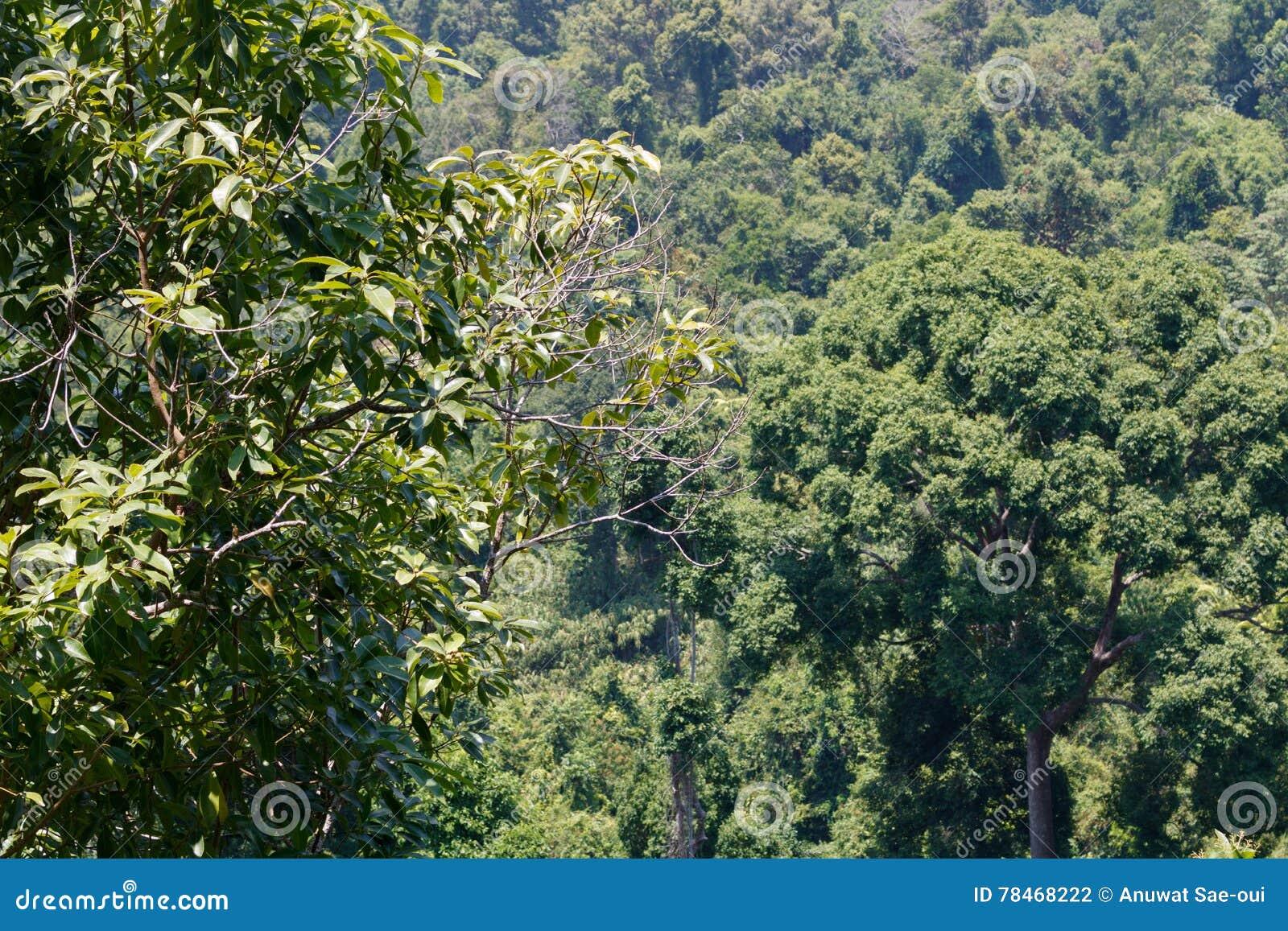 Droog altijdgroen bos