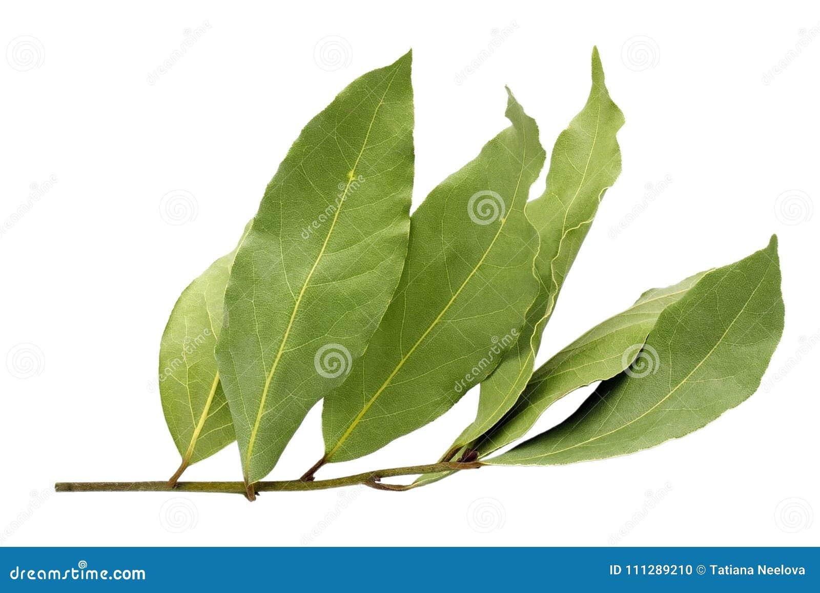 Droog aromatisch die laurierbladtakje op een witte achtergrond wordt geïsoleerd Foto van de oogst van de laurierbaai voor de zake