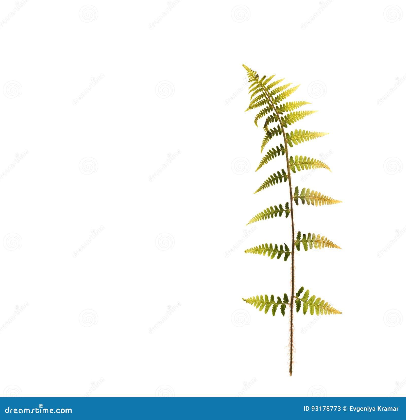 Droog blad van een varen voor een herbarium op wit