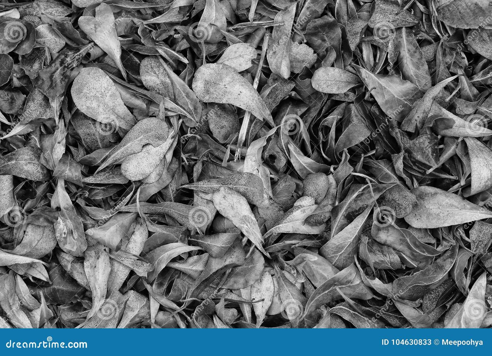 Download Droog Bladeren In Zwart-witte Kleur Stock Afbeelding - Afbeelding bestaande uit niemand, bladeren: 104630833