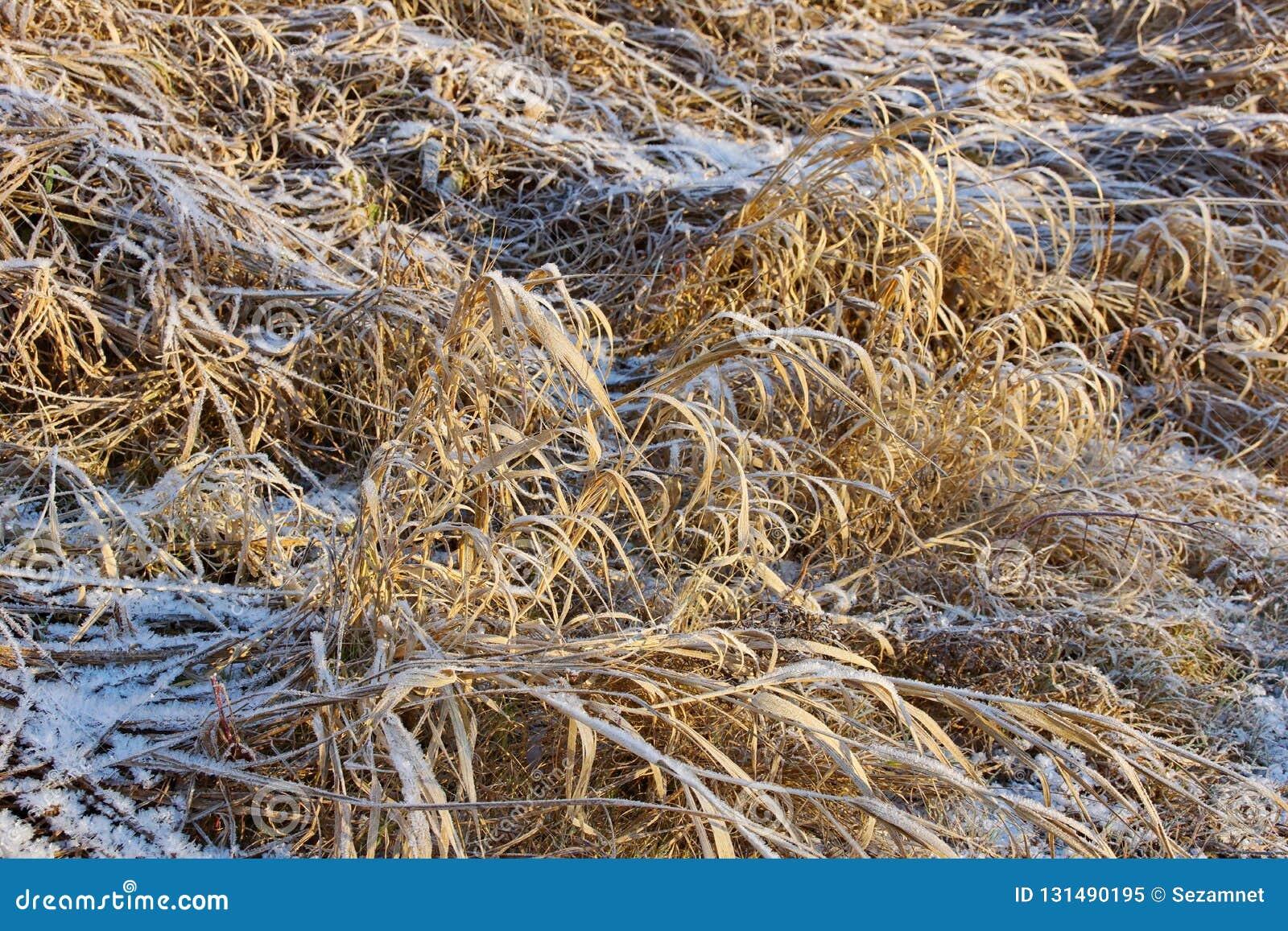 Droog geel die gras met de kristallen koud ijzig van de ijssneeuw close-up wordt behandeld als achtergrond