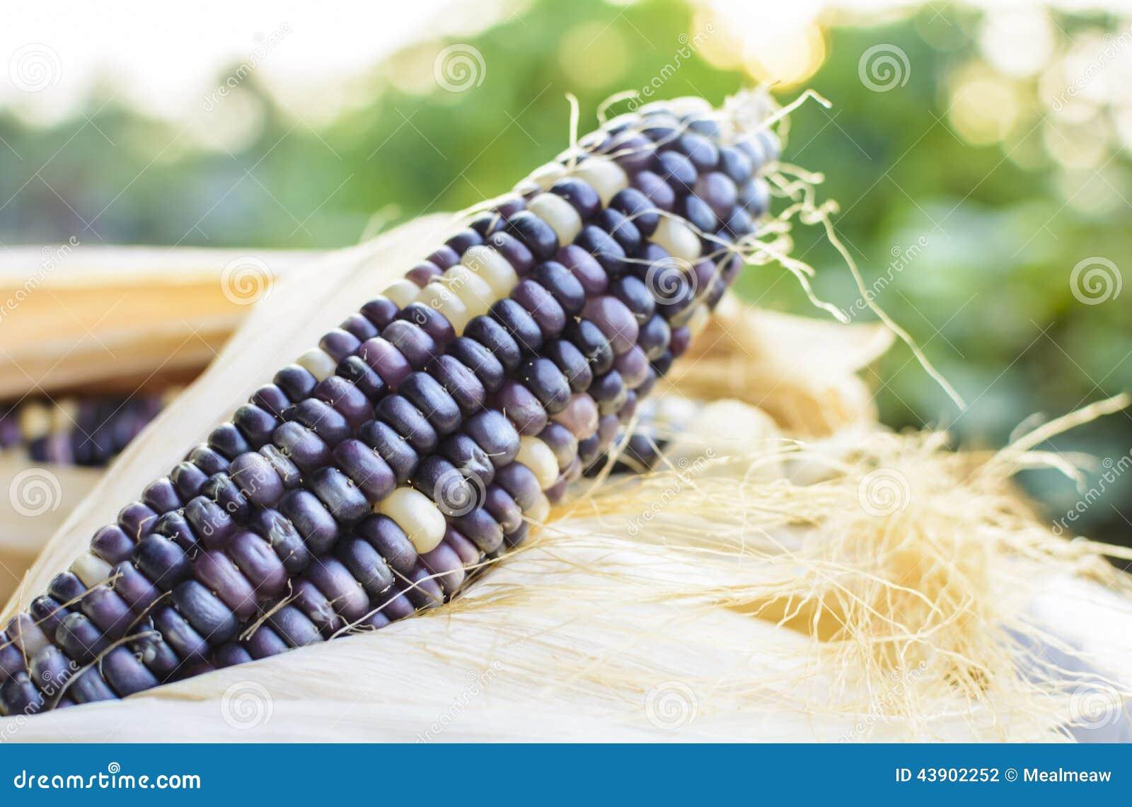 Droog graan voor het fokken, Thais graan