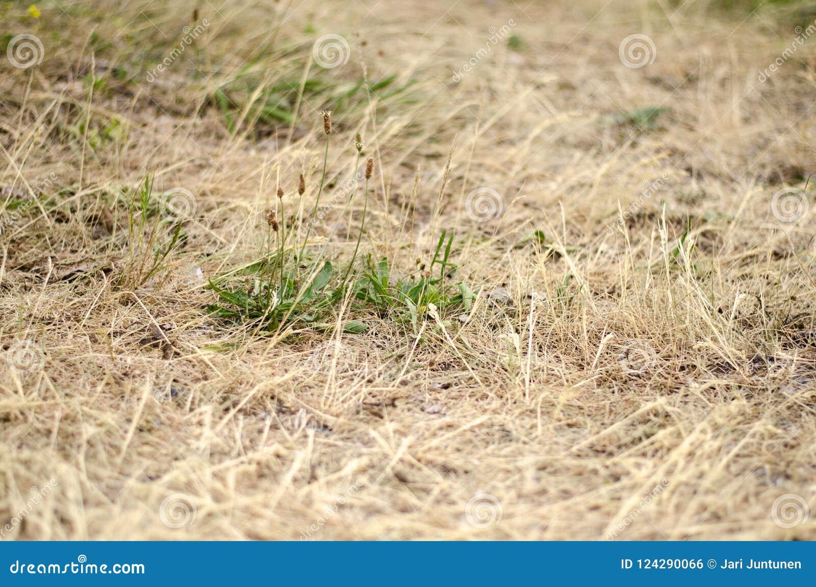 Droog gras