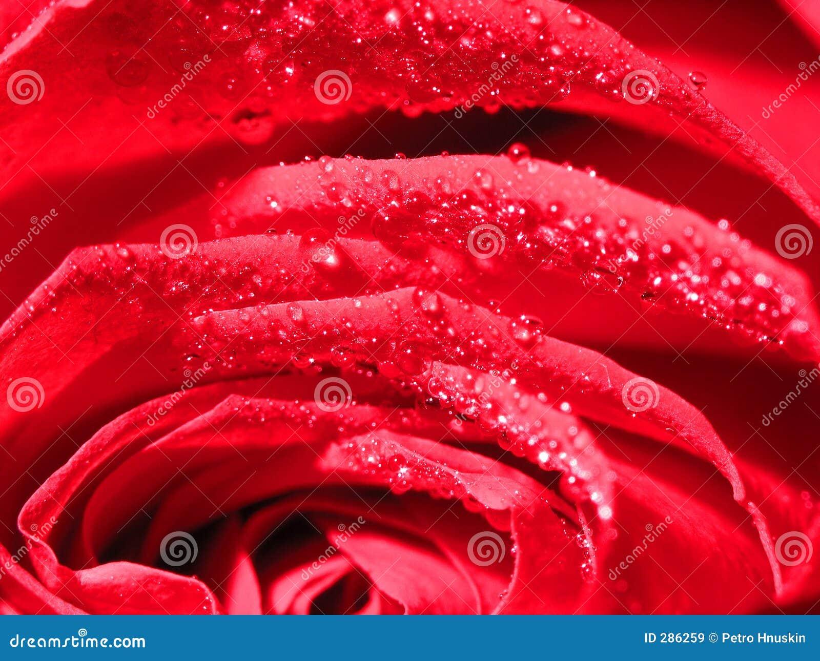Droppar rain rose under