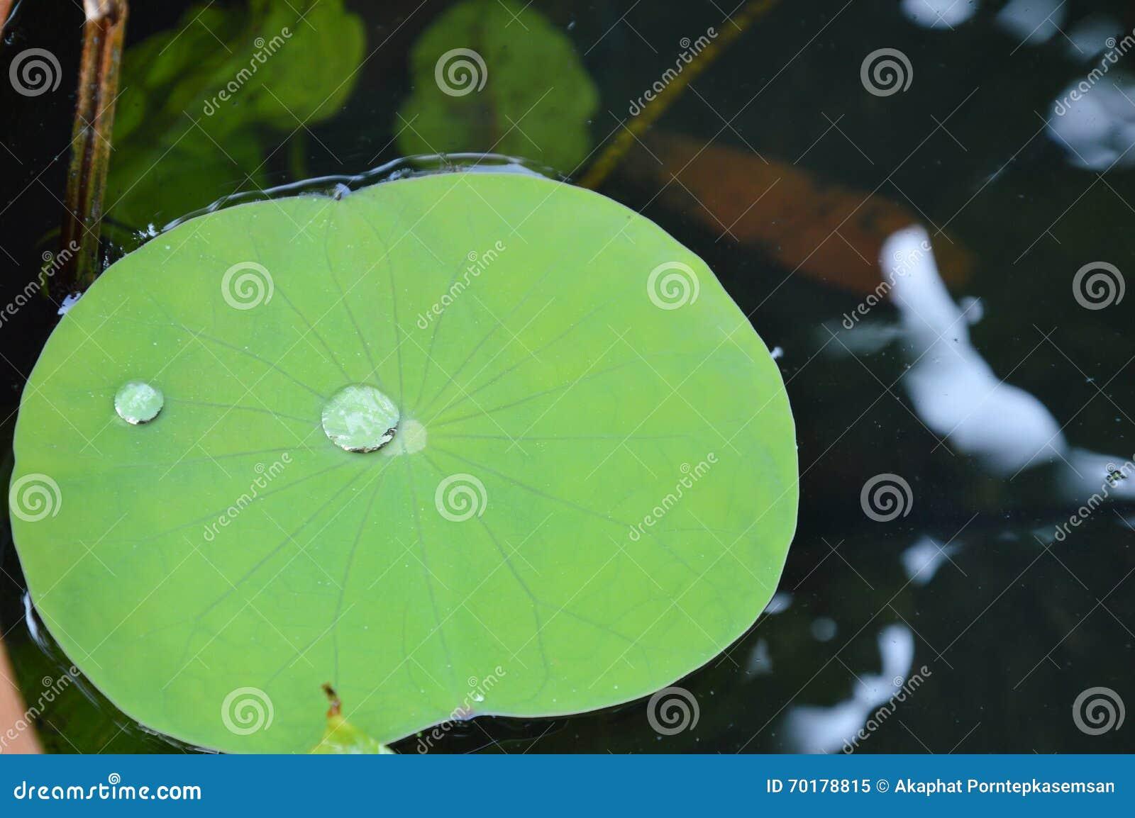 Droppe av vattenrullningen på lotusblommabladet