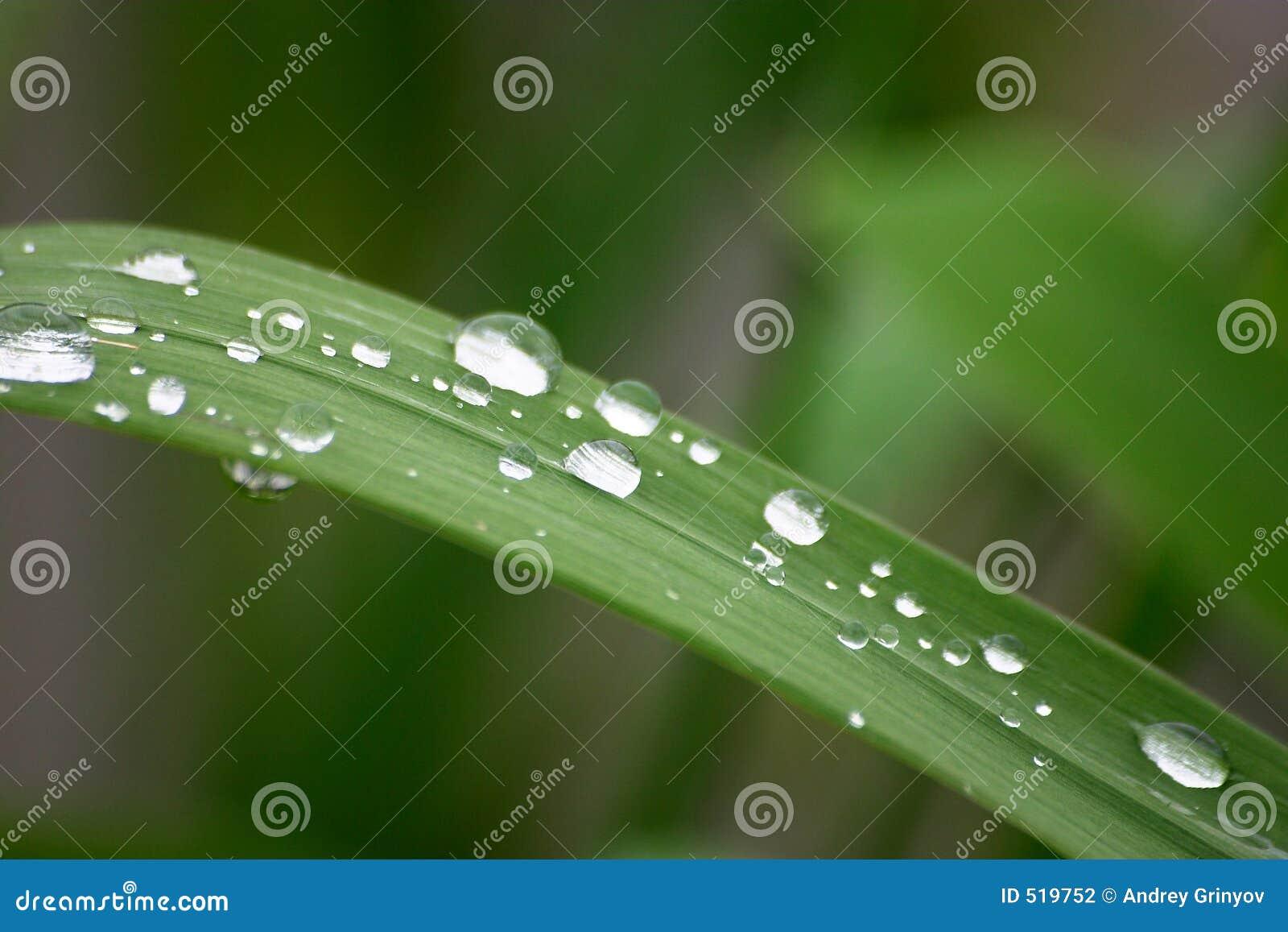 Droppgräs