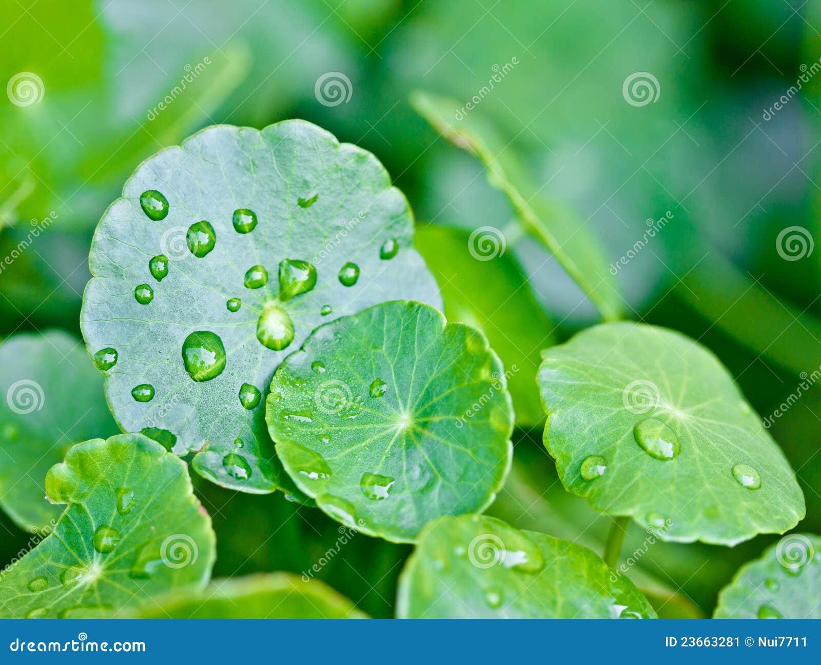 Droppleafs planterar regnvatten