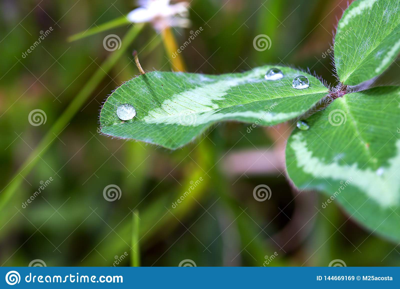 Drops of dew on top of a clover leaf